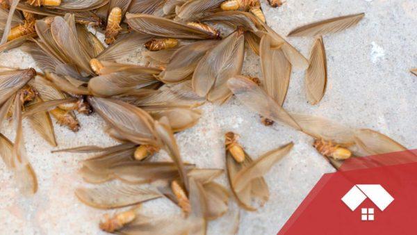 Cómo saber si tienes una plaga de termitas